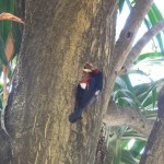 Travelling for fun, Bahir Dahr, Lake Tana, visit Ethiopia: A woodpecker doing what he does best, drilling a hole