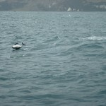 Travelling for fun, visit New Zealand South Island, Kaikoura: A dolphin enjoying himself
