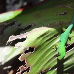 Travelling for fun, Ranomafana National Park, visit Madagascar: A gecko on a leaf in Ranomafana village