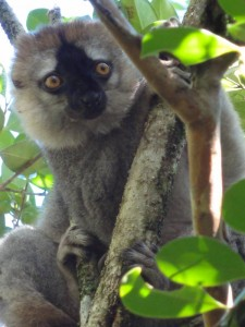 Travelling for fun, Amber Mountain National Park, visit Madagascar: A brown lemur in the trees