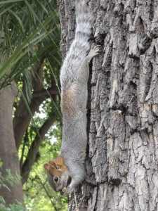 Travelling for Fun, visit Mexico, What to do in Mexico City, Attractions, Chapultepec: I told you there were loads! One of the hundreds of squirrels around taking a break near El Castillo de Chapultepec which houses the National Museum of History