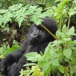 Visit Rwanda, Volcanoes National Park, Travelling for Fun: A spectacular gorilla looking over her shoulder