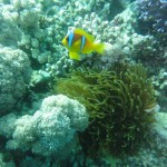 Clown Fish in Jeddah, Saudi Arabia