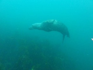 Scuba Diving in Baltimore, West Cork, Ireland, Travelling for fun: A seal darts around us on the search for food. Seals are very elegant in the water and not anything like their land lumbering would suggest.