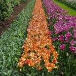 Keukenhof, South Holland, Netherlands, Travelling for Fun: Rows and rows of tulips in Keukenhof. The left row has been beheaded.