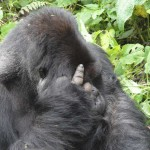 Gorilla Trekking in Rwanda, Rwanda, Travelling for fun: The alpa male showing what he thinks of us!