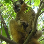 See Madagascar, Travelling for Fun, A Golden Lemur surveys