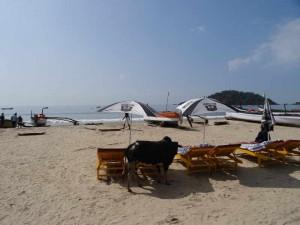 Rickshaw Run - Cow on a beach Goa